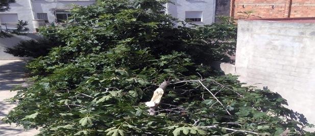 La tarde del martes, cayó una higuera en el patio del Hogar Sagrada Familia de la Vall d'Uixó.